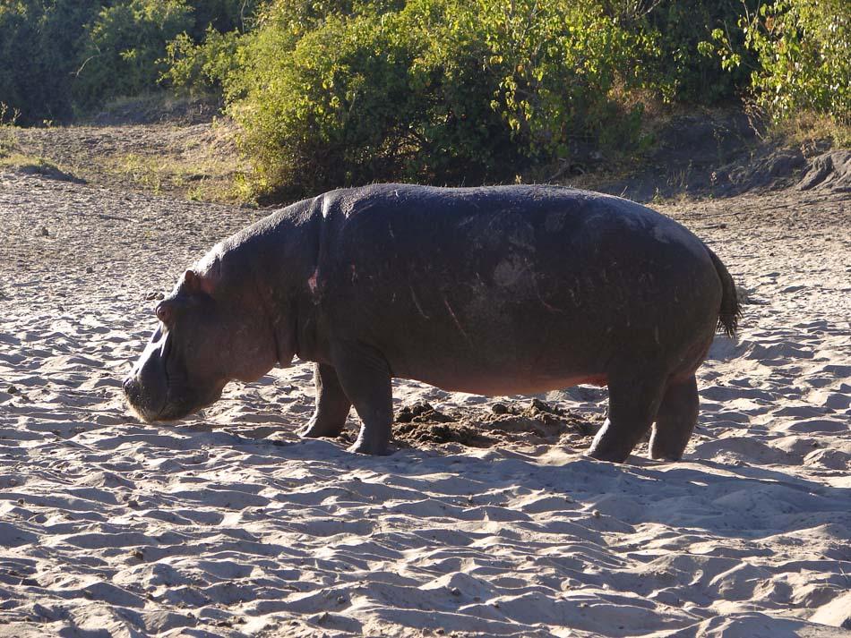 http://www.africangamesafari.com/botswana/hipopotam.jpg
