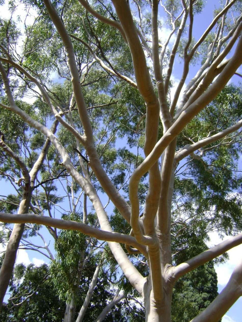 zdj u0119cie drzewa eukaliptus wykonane w parku