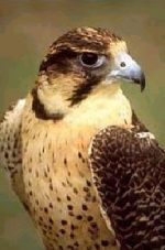 Falcon Hunting Safaris