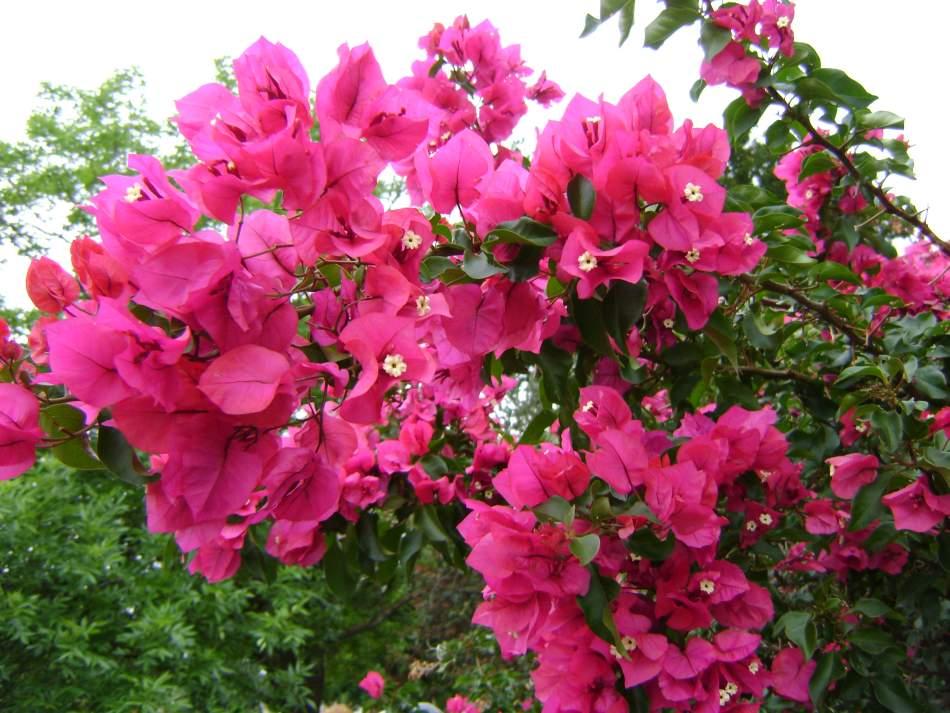 Czerwone Kwiaty Kasztanowca